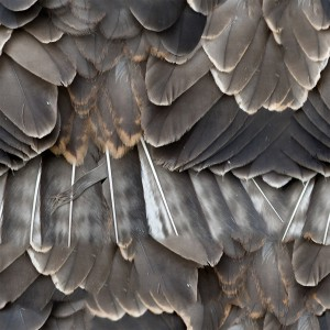 feather-texture (31)